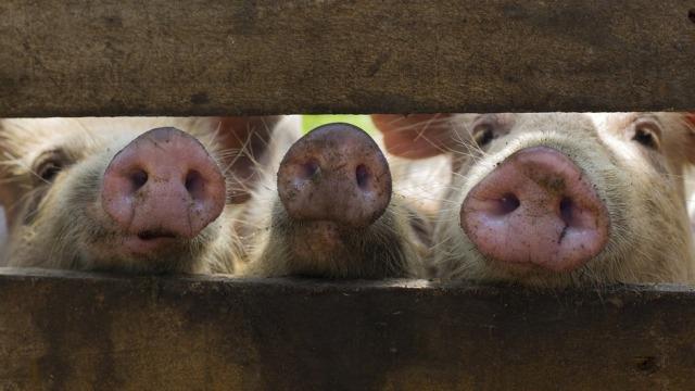 """大佬们的掌上明""""猪"""""""